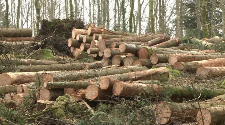 Thumbnail Forêt de Trémelin : 1450 arbres abattus !
