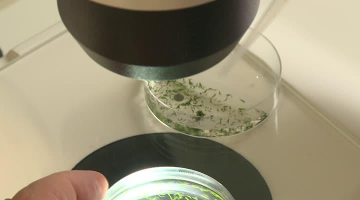 Thumbnail Le ver marin de Roscoff, un organisme prometteur