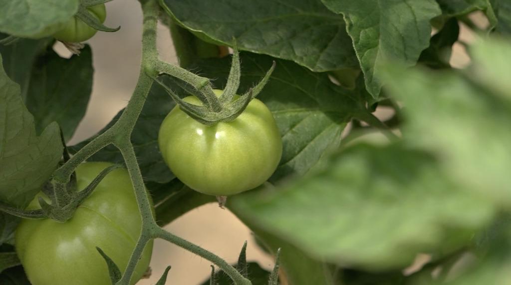 Thumbnail Tomates bio : ils disent non aux serres chauffées